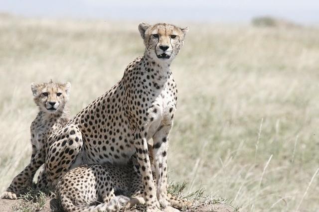 Krafttier Gepard