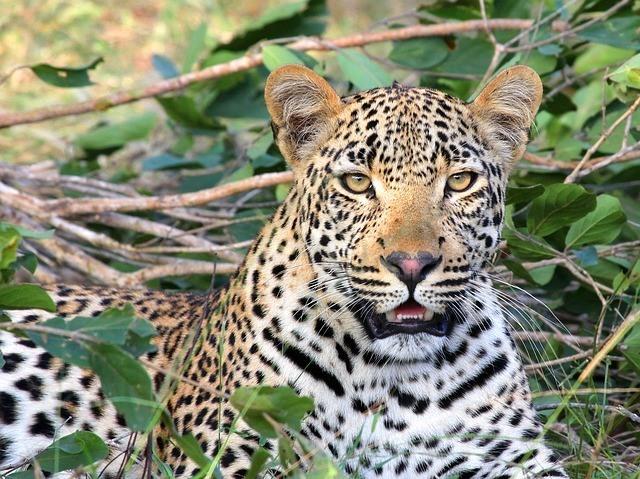 Krafttier Leopard