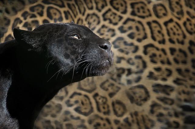 Krafttier Panther