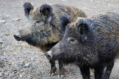 Krafttier Wildschwein