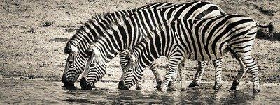 Krafttier Zebra