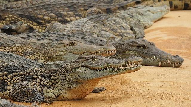 Krafttier Krokodil
