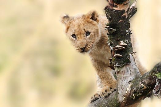 lion animal nature predator 40835