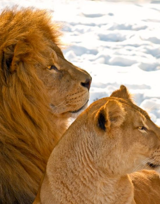 Male and female lions lying in the snow